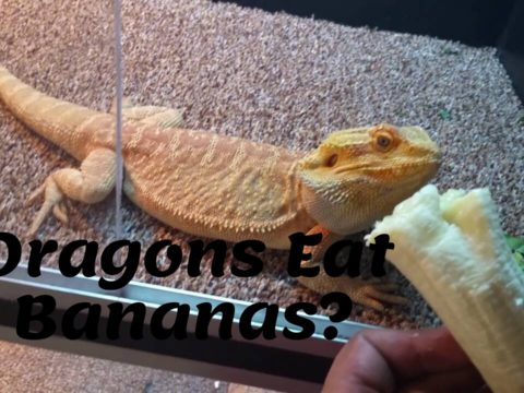Dragons Eat Bananas?
