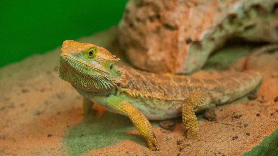 Bearded Dragons Get