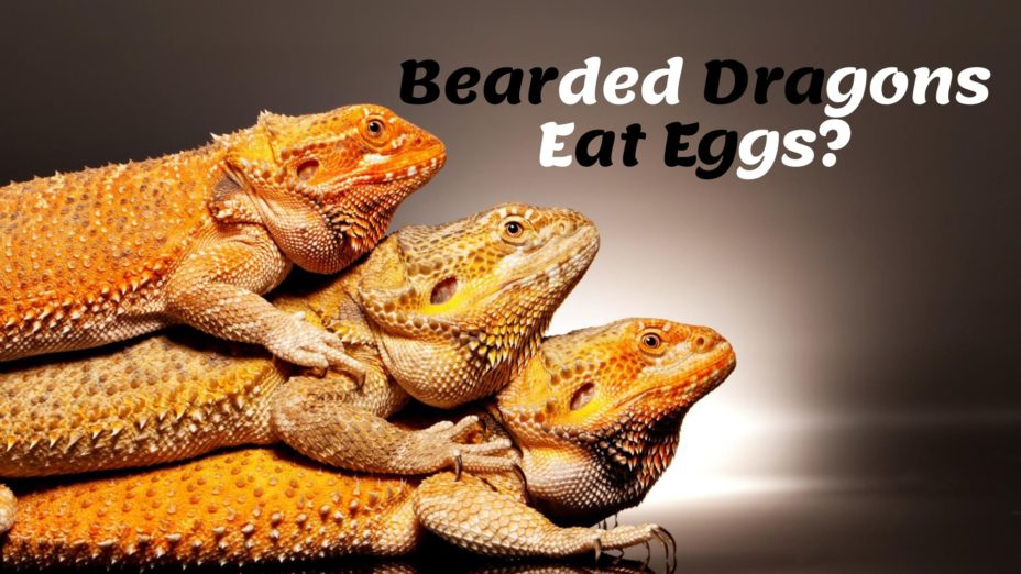 Bearded Dragons Eat Eggs?
