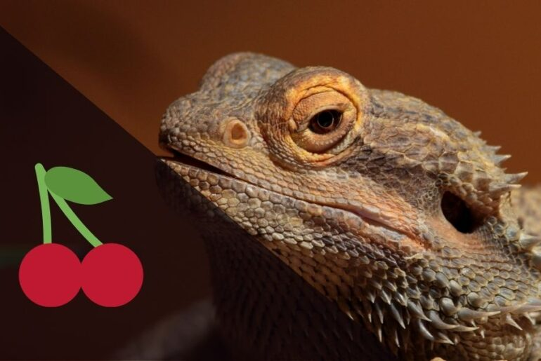 Can Bearded Dragons Eat Cherries?