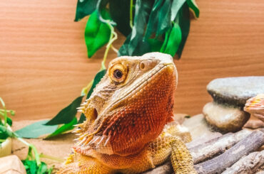 best enclosures for bearded dragons